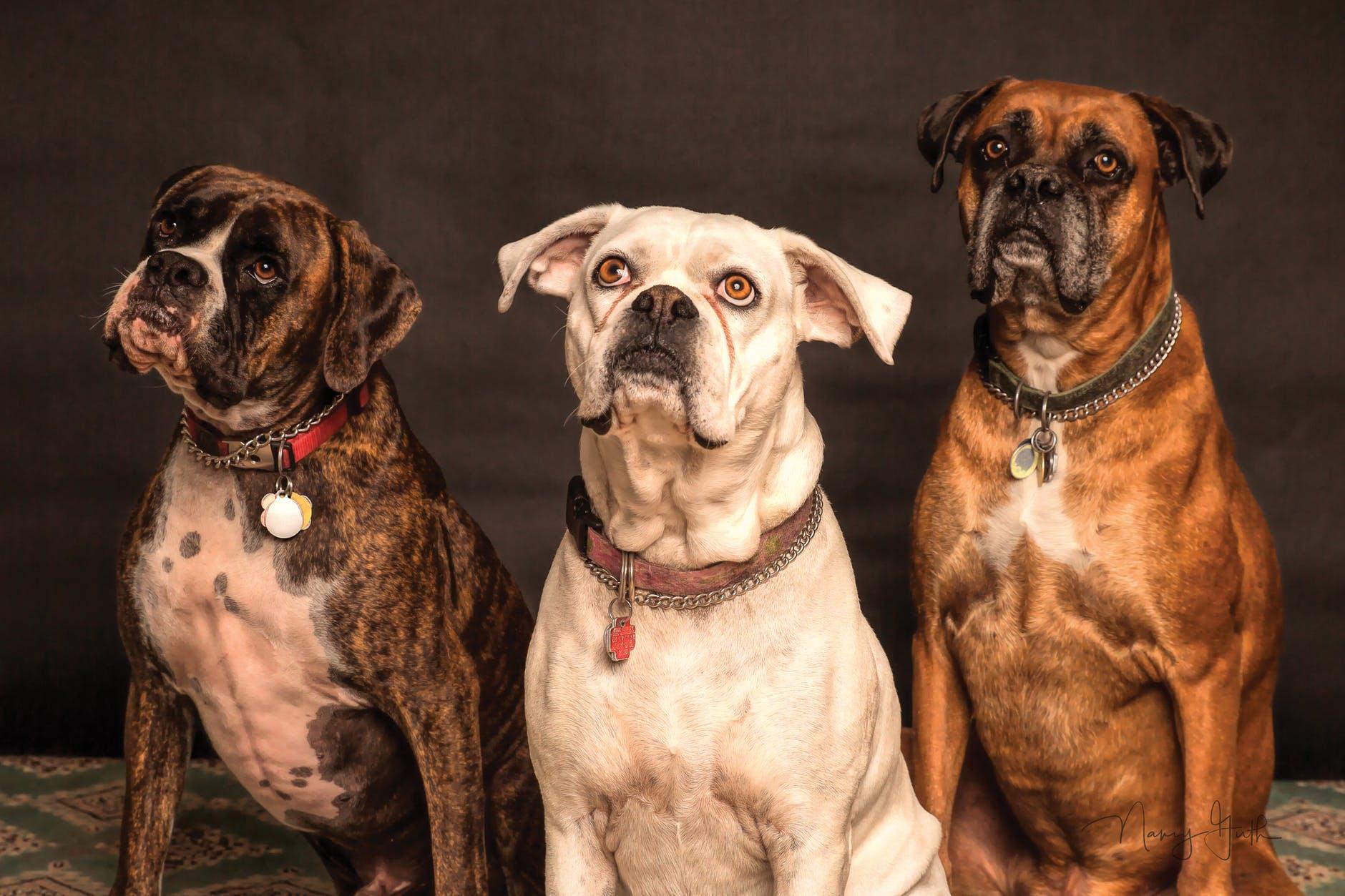 גזעי כלבים מסוכנים